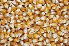 Pop Corn Seed Stock Image