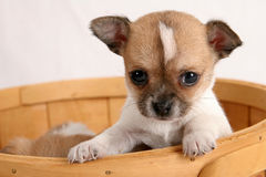Pop-up puppy royalty free stock image