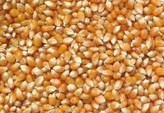 Popcorn. Unpopped Popcron Kernels Stock Images