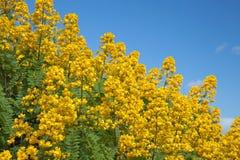 Popcorn Cassia. Cassia didymobotrya, Popcorn Cassia, Peanut Butter Senna stock photo