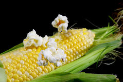 Popcorn on the cob. Popcorn popping off an ear of corn stock photography
