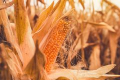 Popcorn cob in cultivated field. Is ready for harvesting royalty free stock photo