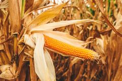 Popcorn cob in cultivated field. Is ready for harvesting stock image