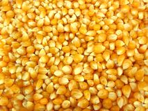 Popcorn corn kernels- dried Royalty Free Stock Photos