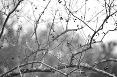 Popcorn tree branches in black and white Stock Image