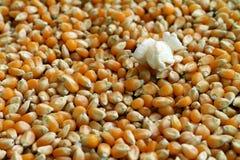 Popcornkerne gekocht, Hintergrund Stockfoto