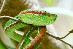 Pope's Green Pit viper Stock Image