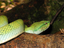 Pope's Pit Viper Royalty Free Stock Photo
