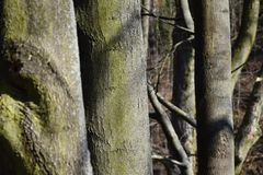 Popiółów drzewa Przed łamać nowych liście Obrazy Royalty Free