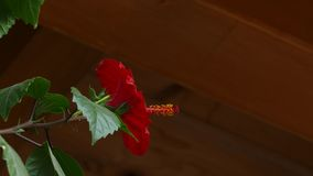 Popiółu dmuchania kwiat Chiński czerwieni róży poślubnik zbiory