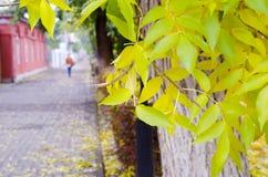 Popiółu drzewo z kolorów żółtych liśćmi i bruk płytkami Obrazy Stock