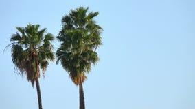 popiółu palmowi kiwania drzewa zbiory wideo