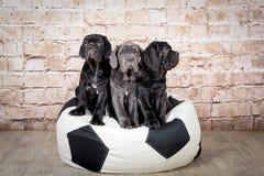Popielaci, czarni i brown szczeniaki, hodują Neapolitana Mastino Psi tresery trenuje psy od dzieciństwa obrazy royalty free