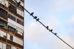 Popielaci gołębie siedzi na kablu przed budynkiem zdjęcie royalty free