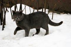Popielaci kotów spacery w śniegu zdjęcia stock