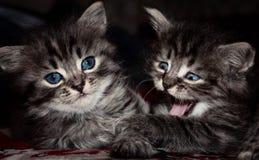 Popielaci koty z niebieskimi oczami zdjęcia royalty free