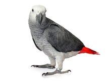 Popielata afrykanin Papuga Obraz Stock