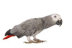 Popielata afrykanin Papuga Zdjęcia Stock