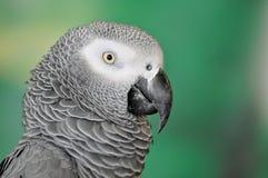 Popielata afrykanin Papuga Obraz Royalty Free