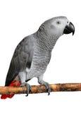 Popielata afrykanin Papuga Obrazy Stock