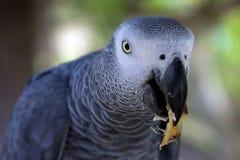Popielata afrykanin Papuga   Obrazy Royalty Free