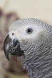 Popielata afrykanin Papuga (Psittacus erithacus) Zdjęcia Royalty Free