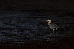 Popielata czapla, Ardea cinerea, polowanie, połów, oprócz, niski basen podczas surowego wczesnego poranku światła w Scotland podc fotografia royalty free