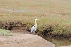 Popielata czapla, Ardea cinerea, przy laguną w Walvis zatoce Fotografia Stock