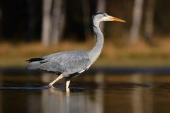 Popielata czapla, Ardea cinerea, w wodzie, zamazująca trawa w tle Czapla w lasowym jeziorze Ptak w natury siedlisku, chodzi wewną Obraz Royalty Free