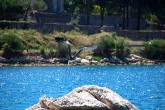 Popielata czapla bierze daleko od kamienia blisko jeziora Obrazy Royalty Free