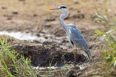 Popielata czapla, Kruger NP Obraz Royalty Free
