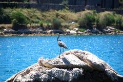 Popielata czapla na rockowym pobliskim jeziorze Fotografia Stock