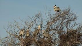 Popielata czapla, nadwodni ptaki na gniazdowym drzewie, zwierzęcy zachowanie w natury drzewnym siedlisku, zachodnia europa, przyr zbiory