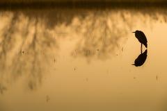 Popielata czapla przy jeziorem w słońca położenia sylwetki Ardea cine Obraz Royalty Free