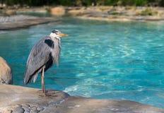 Popielata czapla przy pingwin plażą Fotografia Royalty Free