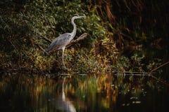 Popielata czapla w Danube delty przyrody fotografii Obraz Royalty Free