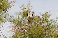 Popielata czapla w drzewie w Camargue Obraz Royalty Free