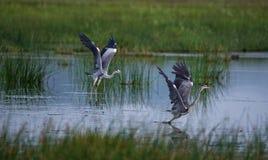 Popielata Czaplia ptak walka Obrazy Stock