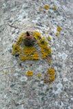 Popielata drewniana tekstura z mech Zdjęcie Royalty Free