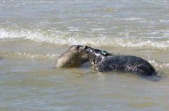 popielata foka Zdjęcie Royalty Free