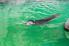 Popielata foka, Halichoerus grypus, szczegółu portret Zdjęcie Royalty Free