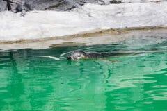 Popielata foka, Halichoerus grypus, szczegółu portret Fotografia Royalty Free