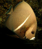 Popielata Francuska anioł ryba Fotografia Stock