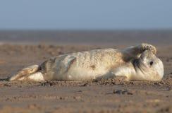 popielata grypus halichoerus foka Zdjęcie Royalty Free