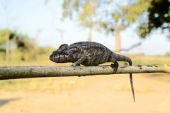 popielata iguana Zdjęcie Royalty Free
