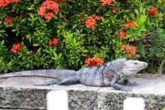 Popielata iguana w Floryda Obraz Royalty Free
