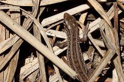 Popielata jaszczurka w suchej trawie Obrazy Royalty Free
