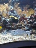 Popielata litte ryba zdjęcie royalty free
