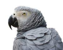popielata papuga Zdjęcie Royalty Free