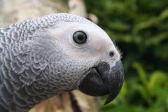 popielata papuga Obraz Royalty Free